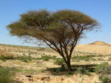 acacia tree in the negev desert wikipedia